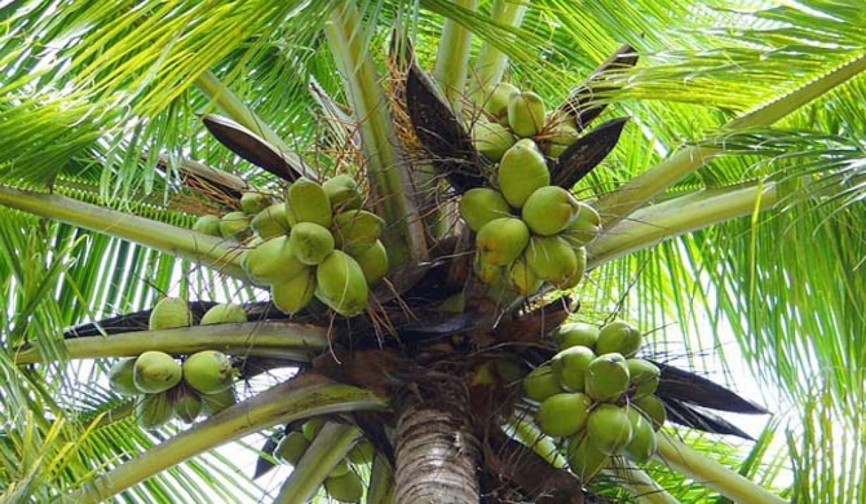 Coconut farmers protest exclusion from National Tree Crop Authority Bill