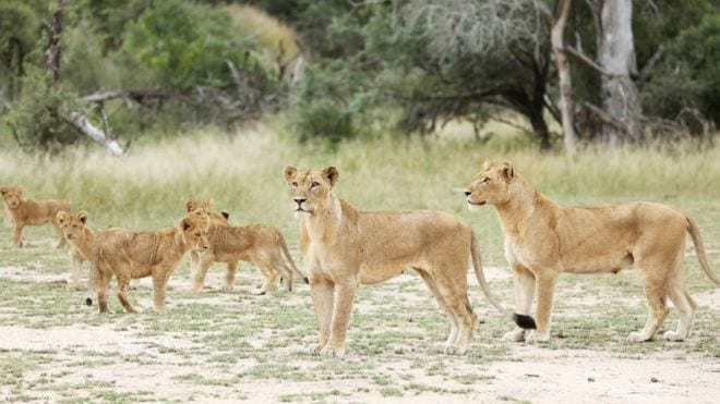Kruger National Park: 14 lions on the loose in South Africa