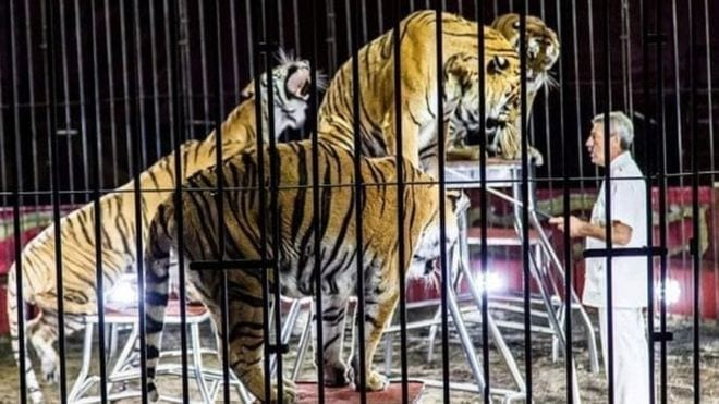 Circus tigers maul trainer to death in Italy